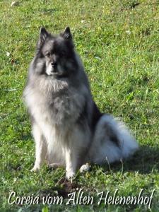 Hündinnen Zucht Wolfsspitze Coreija vom Alten Helenenhof
